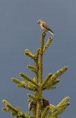 Eurasian linnet (Acanthis cannabina) on spruce, Valais Alps, Switzerland.