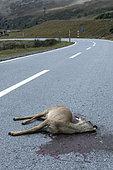 Roebuck (Capreolus capreolus) female killed by a car on a mountain road, Valais, Switzerland