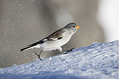 White-winged Snowfinch (Montifringilla nivalis) walking in snow, Alps, Switzerland