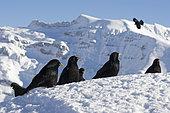 Alpine Chough (Pyrrhocorax graculus) on snow, Alps, Switzerland