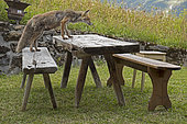 Red fox (Vulpes vulpes), female on a garden table, in summer, Alps, Vaud, Switzerland.