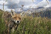 Red fox (Vulpes vulpes) female in a meadow in summer, Alps, Vaud, Switzerland.