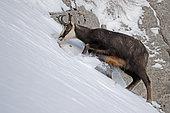 Alpine Chamois (Rupicapra rupicapra) eating on snow, Jura, Switzerland.