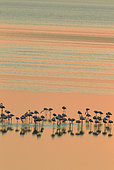 Greater Flamingo (Phoenicopterus roseus). Resting at dusk at the Laguna de Fuente de Piedra near the town of Antequera. This is the largest natural lake in Andalusia and Europe's only inland breeding ground for this species. Malaga province, Andalusia, Spain.