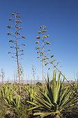 Century plant (Agave americana). Nature Reserve Cabo de Gata-Nijar, Almeria province, Andalusia, Spain.