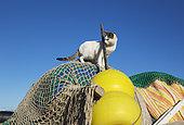 Domestic cat (Felis silvestris catus) and fisherman's bits and pieces at the San Miguel beach. San Miguel de Cabo de Gata, Nature Reserve Cabo de Gata-Nijar, Almeria province, Andalusia, Spain.