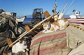 Domestic cats (Felis silvestris catus) and fisherman's bits and pieces at the San Miguel beach. San Miguel de Cabo de Gata, Nature Reserve Cabo de Gata-Nijar, Almeria province, Andalusia, Spain.