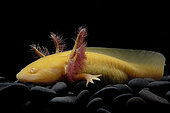 Axolotl (Ambystoma mexicanum) on black background