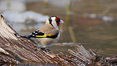 European Goldfinch (Carduelis carduelis) at the water's edge in winter, France