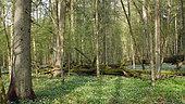 Undergrowth in spring, Bialowieza Forest, Poland