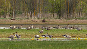 Tundra Bean Goose (Anser fabalis) group in the grass migrating, Biebrza National Park, Poland
