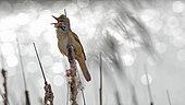 Great Reed Warbler (Acrocephalus arundinaceus) singing on cattail, Krynky Poland