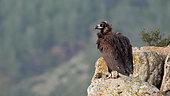 Vautour moine (Aegypius monachus) sur un rocher, résident, hiver, Grèce
