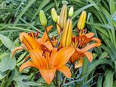 Lily 'African Queen' in bloom in a garden