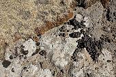 Walia ibex (Capra wallie) dung, Simien Park, Chennek region, Ethiopia
