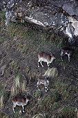 Walia ibex (Capra wallie) herd, Simien Park, Chennek region, Ethiopia
