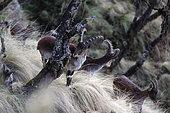 Walia ibex (Capra wallie), Simien Park, Chennek region, Ethiopia