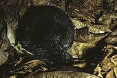 Giant otter shrew (Potamogale velox), Cameroon