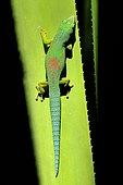 Striped day gecko (Phelsuma lineata bifasciata), Anamalamazaotra forest, East Madagascar
