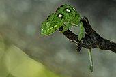 Oustalet's Chameleon (Chamaeleo oustaleti) in intimidation posture, Forest of Anja, Ambalavao region, Madagascar