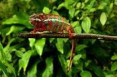 Panther Chameleon (Furcifer pardalis), Madagascar, André Peyrieras Collection, Mandrake Park