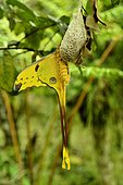 Butterfly (Argema mittrei), Madagascar, André Peyrieras Collection, Mandrake Park