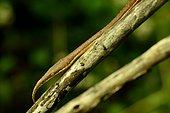 Madagascar leaf-nosed snake (Langaha madagascariensis) male, Madagascar, André Peyrieras Collection, Mandrake Park
