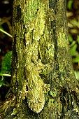 Mocquard's Madagascar Ground Gecko (Paroedura bastardi), Madagascar, André Peyrieras Collection, Mandrake Park