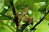 Dagger treefrog (Boophis albilabris), Ranomafana National Park, Madagascar