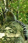 Ring-tailed lemur (Eulemur catta) in the forest of Anja, Ambalavao region, Madagascar