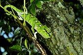 Oustalet's Chameleon (Chamaeleo oustaleti), Madagascar, André Peyrieras Collection, Mandrake Park