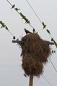 Caracara huppé (Caracara plancus) sur nid de Conure veuve (Myiopsitta monachus), Pantanal, Brésil