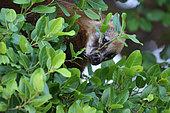 South American Coati, (Nasua nasua aricana), Pantanal, Brazil
