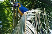 Blue-and-yellow Macaw (Ara ararauna) on a palmtree, Pantanal, Brazil