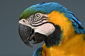 Portrait of Blue-and-yellow Macaw (Ara ararauna), Pantanal, Brazil