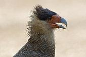 Portrait of Southern Crested Caracara (Caracara plancus), Pantanal, Brazil
