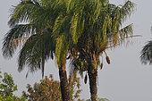 Palmier Acuri (Attalea phalerata), diet for hyacinth macaws, Pnatanal, Brazil