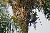 Hyacinth Macaw (Anodorhynchus hyacinthinus) paire on Acuri palm (Attalea phalerata), Pantanal, Brazil