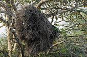 Conure veuve (Myiopsitta monachus) sur nid colonial, Pantanal, Brésil