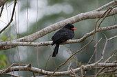 Black-fronted Nunbird (Monasa nigrifrons) on a branch, Pantanal, Brazil