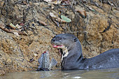 Giant Otter (Pteronura brasiliensis) eating a fish Panaque in water, Pantanal, Brazil