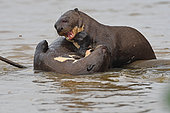 Giant Otter (Pteronura brasiliensis) playing together in water, Pantanal, Brazil