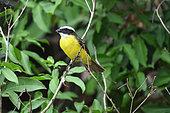 Social Flycatcher (Myiozetetes similis) on a branch, Pantanal, Brazil