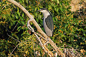 Black-crowned Night Heron (Nycticorax nycticorax) on a branch, Pantanal, Brazil