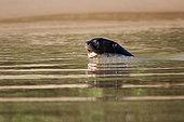 Loutre géante (Pteronura brasiliensis) dans l'eau, Pantanal, Brésil