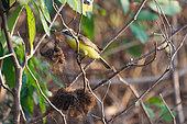 Social Flycatcher (Myiozetetes similis) collecting materials for the nest, Pantanal, Brazil