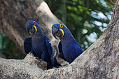 Hyacinth Macaw (Anodorhynchus hyacinthinus) paire, Pantanal, Brazil