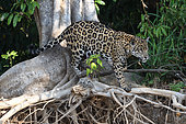 Jaguar (Panthera onca) walking on roots, Pantanal, Brazil