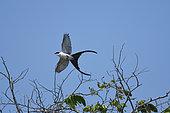 Fork-tailed Flycatcher (Tyrannus savana) in flight, Pantanal, Brazil