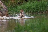Jaguar (Panthera onca) jumping in water to catch a caiman, Pantanal, Brazil